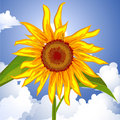 Sunflower on the sky Royalty Free Stock Image