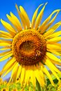 Sunflower on The Sky Stock Image