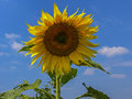 Sunflower sky on a background of blue Royalty Free Stock Photos