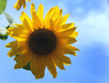 Sunflower with sky Royalty Free Stock Photo