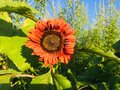 Sunflower on the sky background. Royalty Free Stock Photo