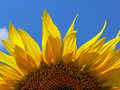 Sunflower sky petals half a on background of the blue close up Royalty Free Stock Photography