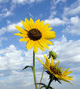 Sunflower Skyscape Royalty Free Stock Photography