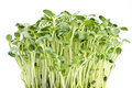 Sunflower Sprouts Royalty Free Stock Photography