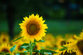 Sunflower standing out in a field Royalty Free Stock Photo