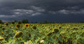 Sunflower with storm a field sky in background Stock Photo