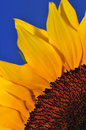 SunFlower Studio Series 5 Royalty Free Stock Photo