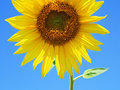 Sunflower in summer Royalty Free Stock Photos
