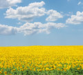 Sunflower on summer field Royalty Free Stock Photo