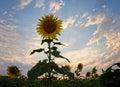 Sunflower - Sun Flower Royalty Free Stock Photo