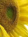 Sunflower sun flower sonnenblume yellow full Royalty Free Stock Photo