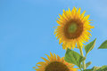 Sunflower in sunflower fields Royalty Free Stock Photo