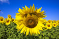 Sunflower sunflowers in the middle of the field the plant which tracks the sun all day Royalty Free Stock Photos
