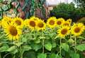 Sunflower sunflowers summer flowers garden or meadow Royalty Free Stock Images