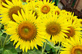 Sunflower sunflowers summer flowers garden or meadow Stock Photo