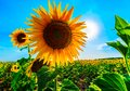 Sunflower in sunny blue sky Royalty Free Stock Photo