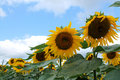 Sunflower a on a sunny day Royalty Free Stock Image