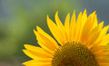 Sunflower at sunny day Royalty Free Stock Photo