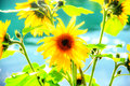 Sunflower in a sunny summer day with a background of green lake water Stock Images