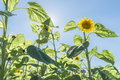 Sunflower at a sunny summer day and sunbeams Royalty Free Stock Photo