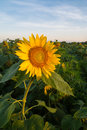 Sunflower at sunrise. Royalty Free Stock Photo