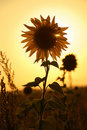 Sunflower at sunset Royalty Free Stock Photo