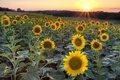 Sunflower sunset, HDR Royalty Free Stock Photo