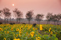 Sunflower and sunset Royalty Free Stock Photo