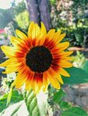Sunflower taking sunbath in a shiny day Royalty Free Stock Photo