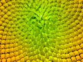 Sunflower texture. Stock Image
