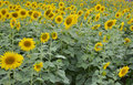 Sunflower in thailand and turism yellow bueatyfull Stock Image