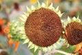 Sunflower turns towards the sun Royalty Free Stock Photo