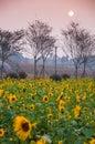 Sunflower under the sunshine Royalty Free Stock Photo