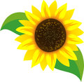 Sunflower vector illustration of a Royalty Free Stock Photo