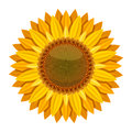 Sunflower vector  on white background. Yellow sun flower Royalty Free Stock Photo