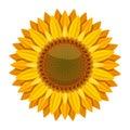 Sunflower vector on white background. Yellow sun flower Royalty Free Stock Photo