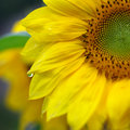 Sunflower with water drops Royalty Free Stock Images