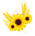 Sunflower and wheat background Royalty Free Stock Images