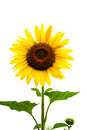 sunflower on white background Royalty Free Stock Photo