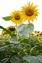 Sunflower white background vertical composition Royalty Free Stock Photo