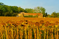Sunflower wilted fields in the french limousen Stock Photography