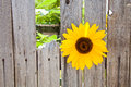 Sunflower In A Wood Fence