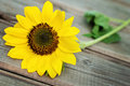 Sunflower on a wooden fence single oa old Royalty Free Stock Photos