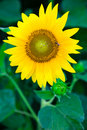 Sunflower wth bee Stock Photos
