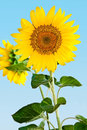 Sunflower a yellow against blue sky Royalty Free Stock Photography