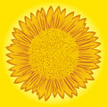 Sunflower on yellow background flowering big with detailed florets images stylized hand drawing vector illustration Royalty Free Stock Photos