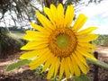 Sunflower, Yellow, Flower, Spr...