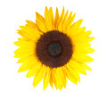 Stock Images Sunflower