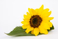 Sunflower yellow leaf white background Royalty Free Stock Image
