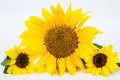 Sunflower yellow leaf white background Royalty Free Stock Images
